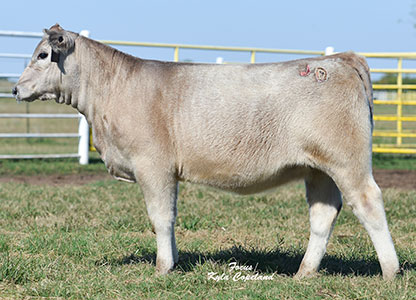 Dismukes Ranch Cattle For Sale - Charolais Female
