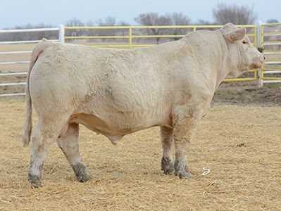 Dismukes Ranch Cattle For Sale - Tag 1645